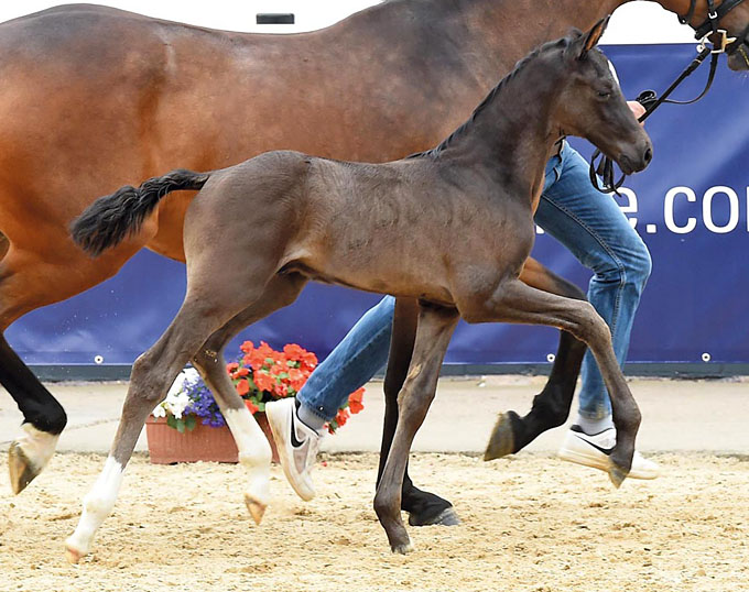 marco polo price highlight of the 2018 oldenburg elite foal auction. Black Bedroom Furniture Sets. Home Design Ideas