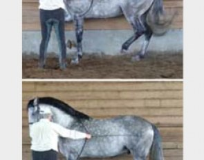 Learning piaffe: Top: standing front leg is vertical, lifted knee is close to the horizontal, hind legs are flexed (down for standing leg and up for lifted leg), haunches are lowered, back is rounded, neck is arched, poll at the highest point and nose slightly in front of the vertical. BOTTOM: perfect square halt, front legs vertical and haunches lightly flexed, his front end immobile and light with equal contact on both reins, forehead vertical, poll high.