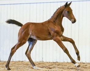 Prelude CML, price highlight of the 2018 Swedish Warmblood Elite Foal Auction