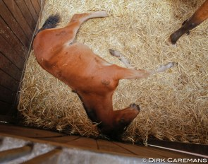 Foal sleeping on straw :: Photo © Dirk Caremans