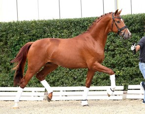 Versailles PS (by Vitalis x Furstenball x Sir Donnerhall)