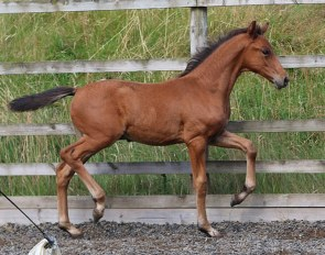 Fitzroy Caledonia (by Franklin x Royal Dance x Ramino x Welt As)