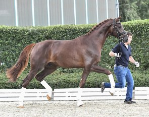 Go For Romance PS (by Governor out of Furtherance (by Furst Romancier x Sir Donnerhall x Don Schufro)