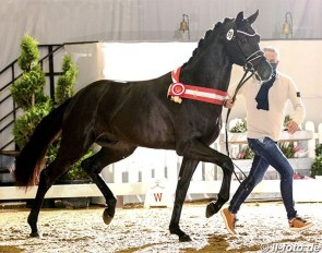 The Fair Game x Destano colt that was named champion of the 2020 Westfalian Stallion Licensing and sold for 800,000 euro :: Photo © LL-foto