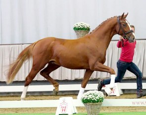 Sirius, 3-year old Westfalian licensed stallion by Sezuan x De Niro