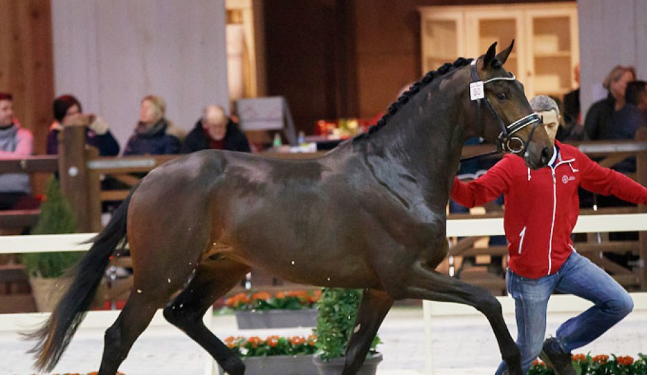 Picasso van den Bruel at the second phase of the 2018 BWP Stallion Licensing :: Photo © Dirk Caremans
