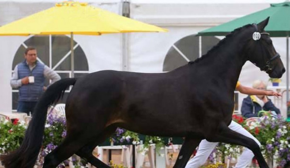 Flora (by Furst Belissaro x Don Crusador), the 2019 German Mare Champion :: Photo © LL-foto