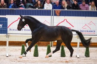Jansen (aka James Bond) at the 2017 KWPN Stallion Licensing :: Photo © Digishots