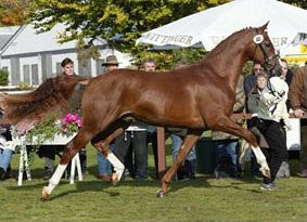 Royal Blend at the 2003 Hanoverian Stallion Licensing :: Photo © Tammo Ernst