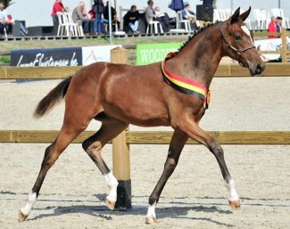 Steenakkers Diamant, the 2018 Belgian Warmblood Filly Foal Champion :: Photo courtesy BWP