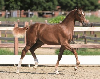 Quantensprung x Don Primero filly for sale at the 2018 Holsteine Foal Auction in Elmshorn