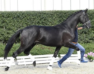 De Niro's Donnerhall (by De Niro x Rosario x Donnerhall) - Already accepted for the stallion licensing!