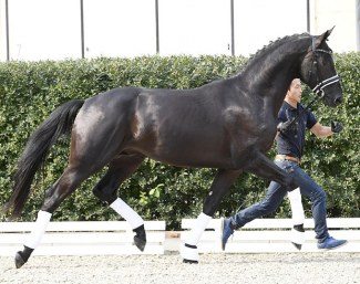 Tamino, best selling dressage horse of the 2018 PS Online Colt Auction :: Photo © Kiki Beelitz