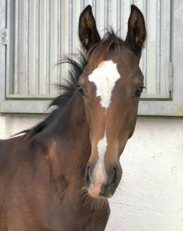 Colt by Sir Donnerhall out of small tour mare by Carracci x Rio Negro