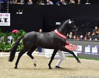 Kremlin MD (KWPN, by Governor x Rousseau) named champion of the 2019 Danish Warmblood Stallion Licensing :: Photo © Ridehesten