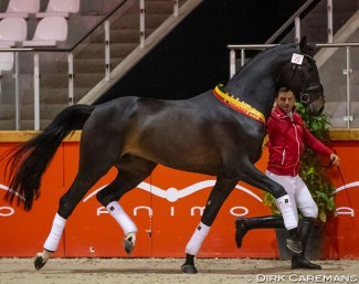 Quinten Begijnhoeve named dressage champion of the 2019 BWP Stallion Licensing :: Photo © Dirk Caremans