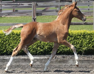 MSJ Carlos, a colt by Charmeur out of Royal Schufro (by Rubin Royal out of Don Schufro's full sister) - for sale at Mount St. John