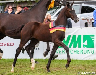 Totilas x Zonik filly, winner of the Filly division at the 2019 German Foal Championships :: Photo © LL-foto