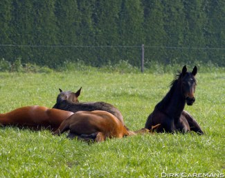 Sleeping yearlings :: Photo © Dirk Caremans