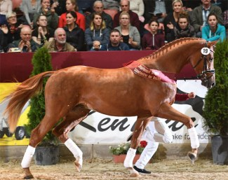 The Lord Loxley x Sir Donnerhall I champion of the 2019 DSP Stallion Licensing :: Photo © Björn Schroeder