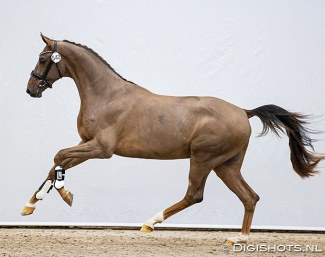 Egbert Schep's Nice Guy ES (by Quantensprung x Stedinger) selected for the second phase of the 2021 KWPN Stallion Licensing :: Photo © Digishots