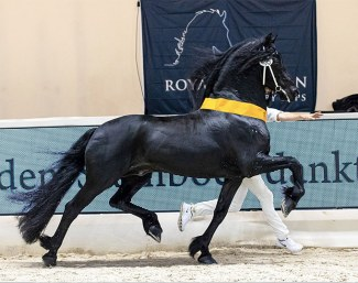 Jurre 495, overall champion of the 2021 Friesian Stallion Licensing :: Photo © Digishots